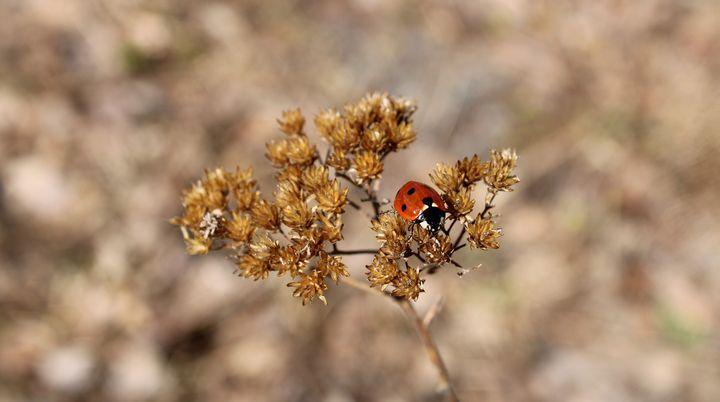 Ladybug - Gaming and Fantasy