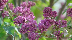 pretty pink lilac buds