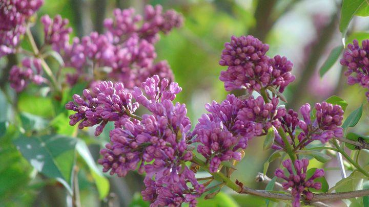 pretty pink lilac buds - Optical Perceptions