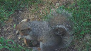 eating Squirrel