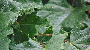 Wet Spring Leaves