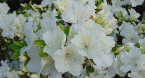 White Spring Flower2