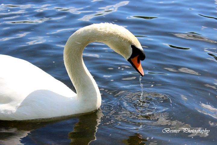 Swan Lake - Brimer