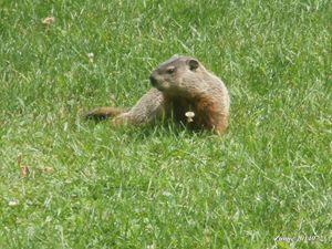 Groundhog Summer