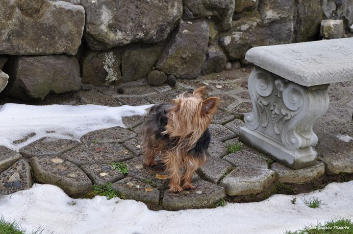 Little Winter Yorkie Profile - John Gonzales PhotoArt