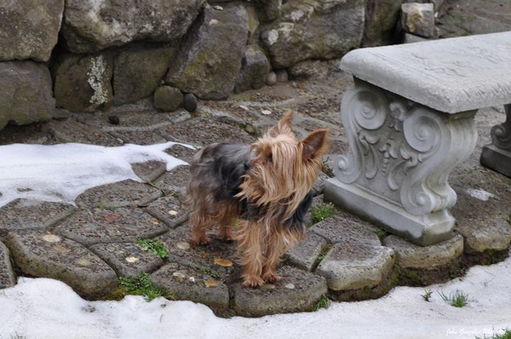 Little Yorkie - John Gonzales PhotoArt