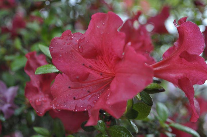 Red Azalea 2 - John Gonzales PhotoArt