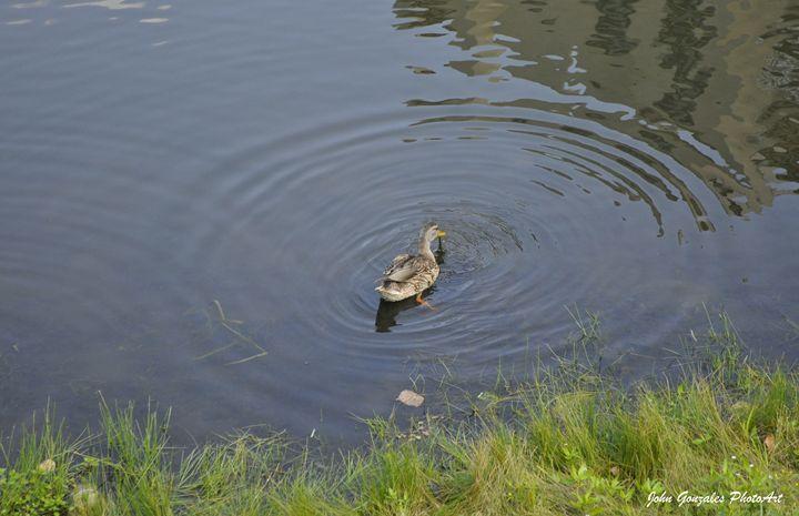 Duck Lunch - John Gonzales PhotoArt
