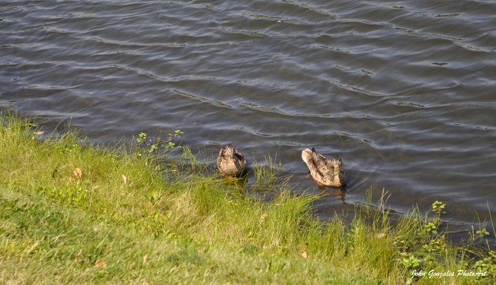 Ducks Coming Ashore - John Gonzales PhotoArt