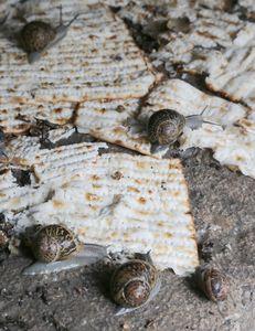 Passover Snails