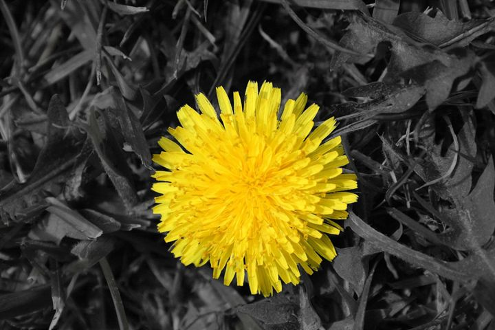 Yellow Dandelion - Leeora's Photography