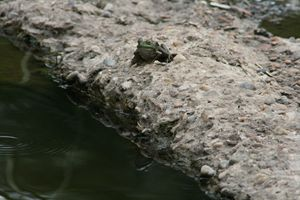 Frog and Reflection