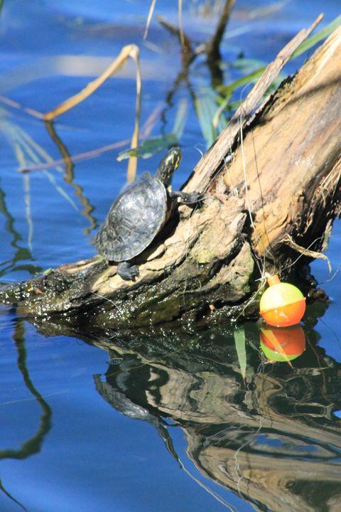 Baby Turtle - Leeora's Photography