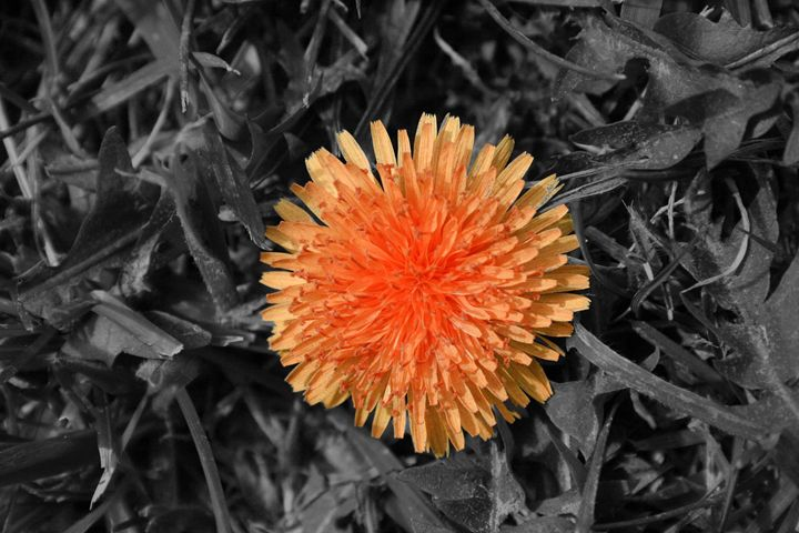 Orange Dandelion - Leeora's Photography
