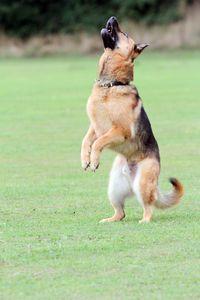 'German Shepherd Dog'