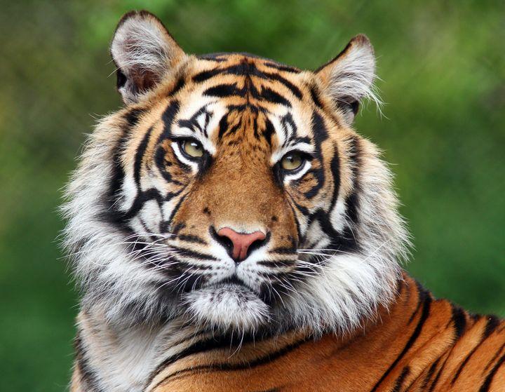 Tiger portrait - Denise Coyle