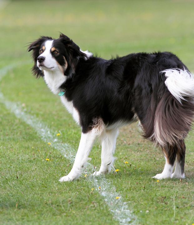 'Border Collie dog' - Denise Coyle