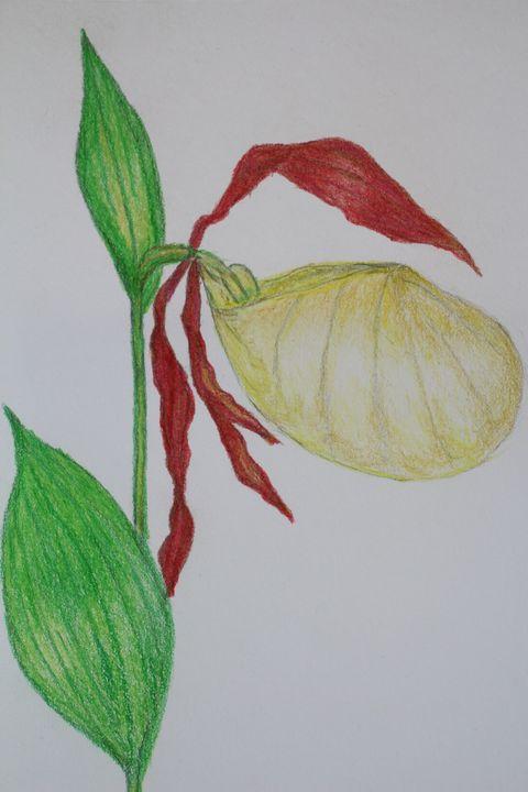 Slipper Orchid Flower - Nature Art Gallery
