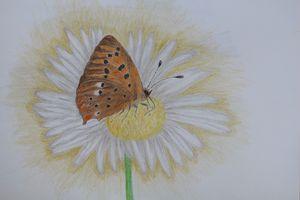 European Butterfly Drawing