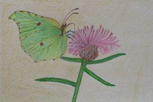Brimstone Butterfly (Gonepteryx rham