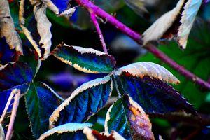 Blackberry bush leaves