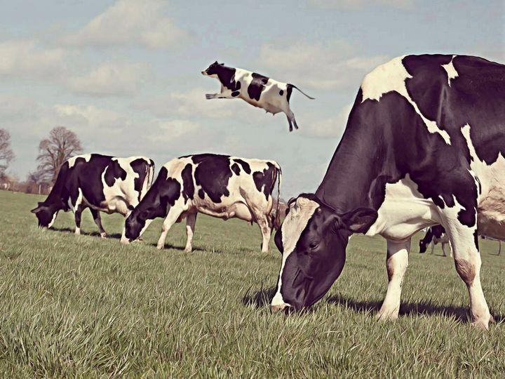Les Vaches - Mr STRANGE (JM GITARD)