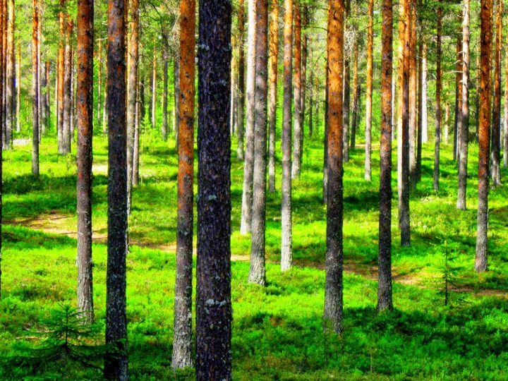 Pine forest - paulihyvonen