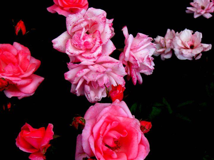 Roseconstellation - paulihyvonen