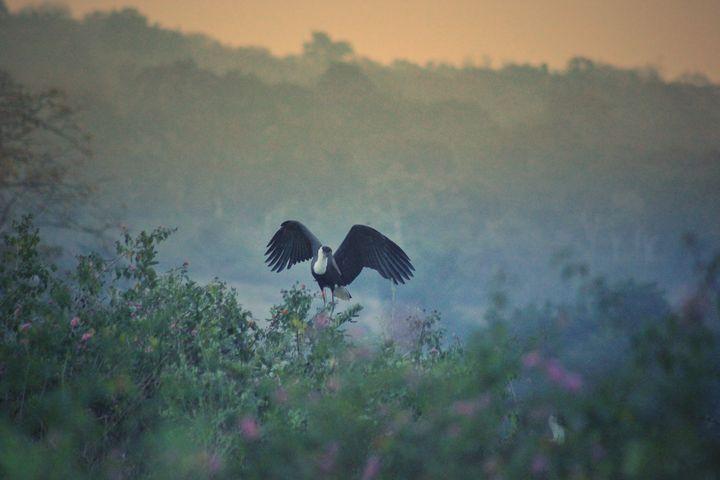 woolly long necked stork - Night_Light_Photograph