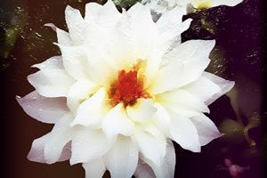 White Ruffle