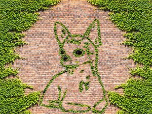 Chihuahua  dog in ivy on a brick wal