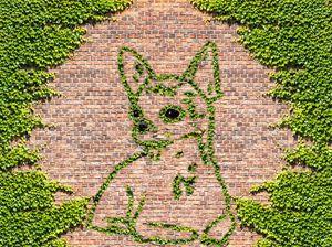 Chihuahua  dog in ivy on a brick wal - Ed Mace