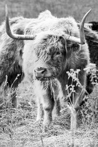 Highland Horns BW