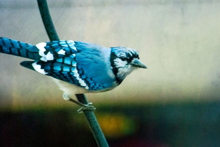 Blue Jay 4 - Persinger Creations