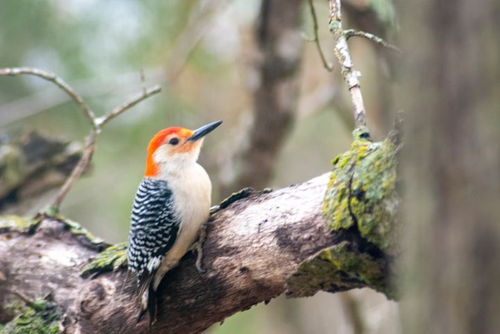 Red-Bellied Woodpecker 1 - Persinger Creations