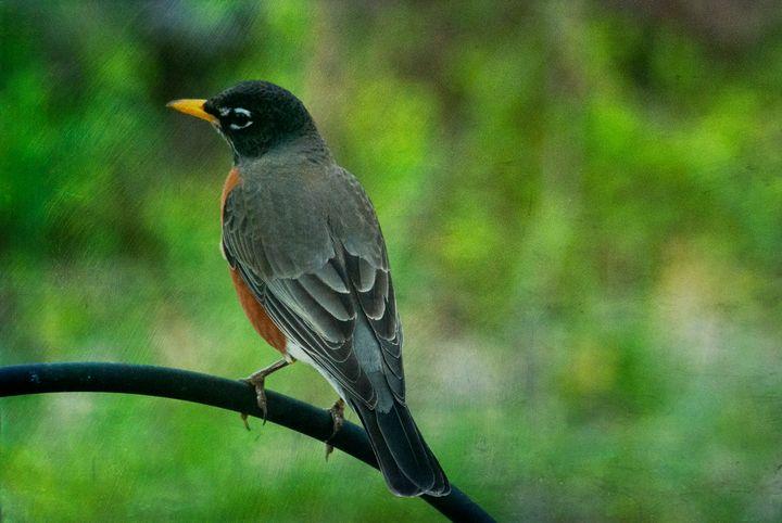 Robin 1 - Persinger Creations