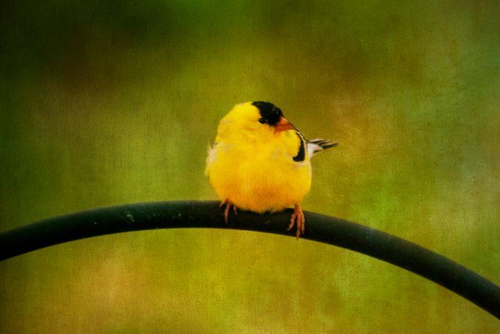 Golden Finch 1 - Persinger Creations