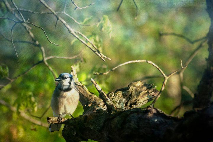 Blue Jay 2 - Persinger Creations