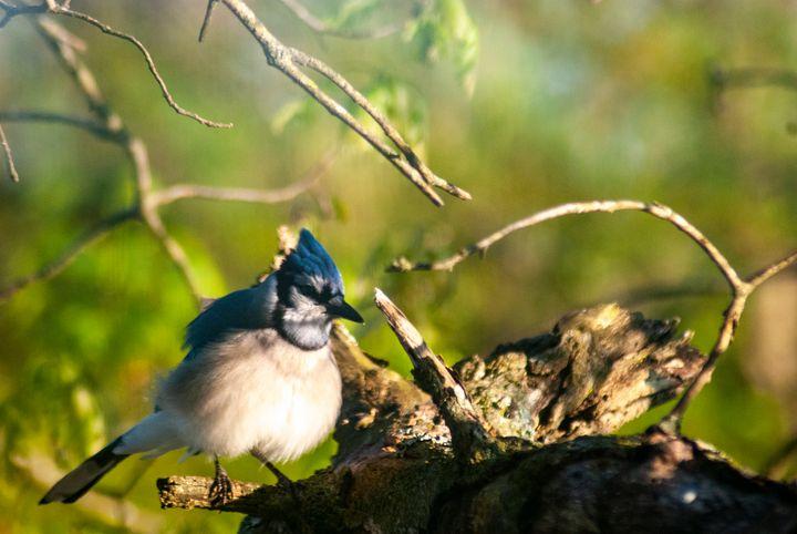 Blue Jay 1 - Persinger Creations