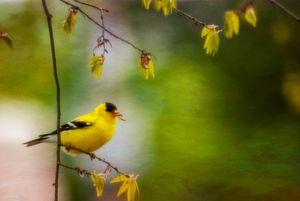 Nest Building Finch