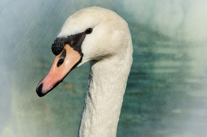 Portrait of a Swan - Persinger Creations
