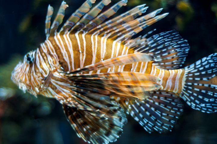 Lion Fish - Persinger Creations