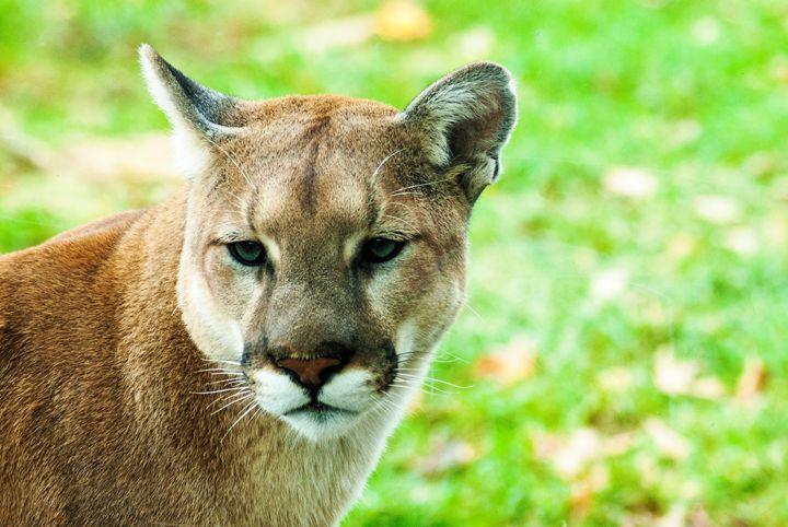 Puma - Persinger Creations