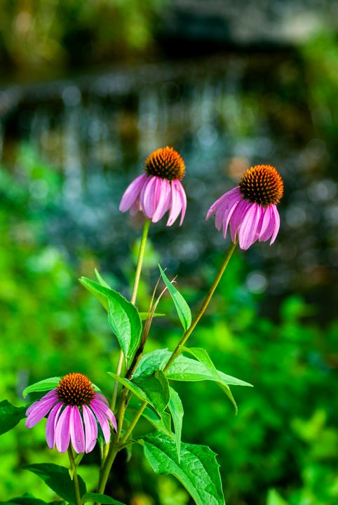 Echinacea - Persinger Creations