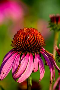 Echinacea Lady