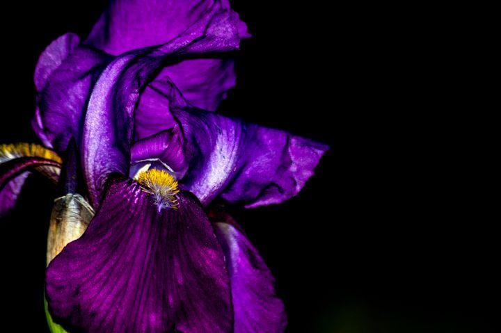 Purple Passion - Persinger Creations