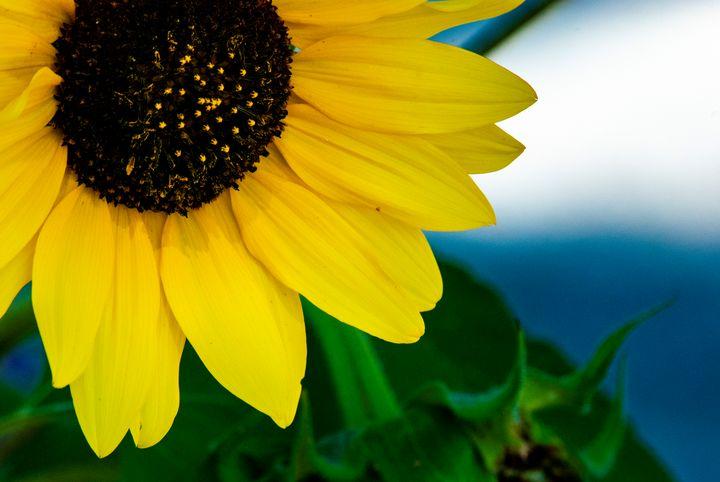 Sunflower - Persinger Creations