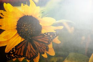 Monarch and Sunfower
