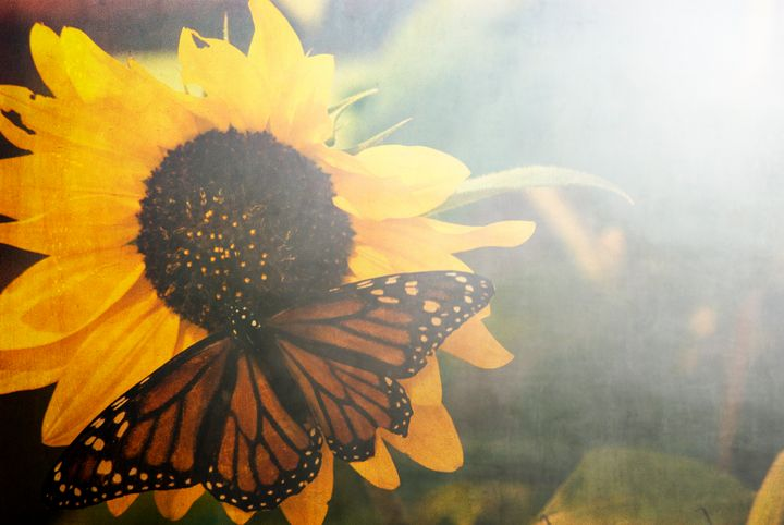 Monarch and Sunfower - Persinger Creations