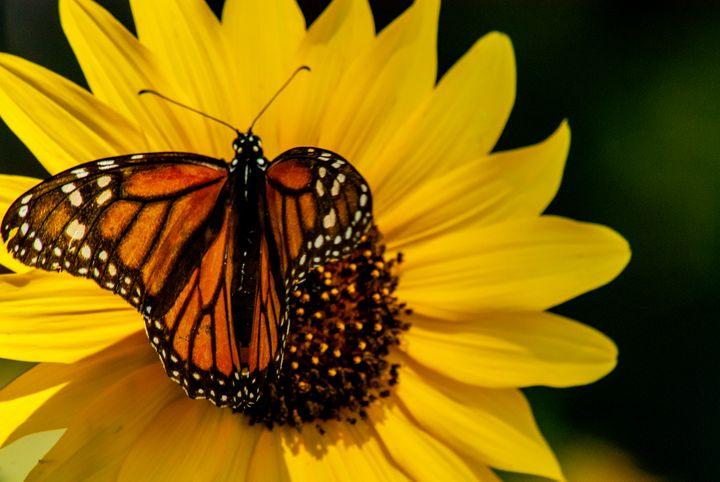 Monarch - Persinger Creations